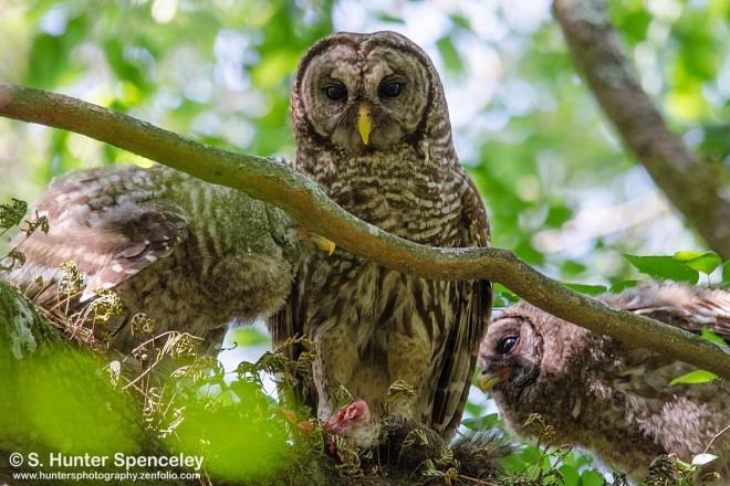 DSC0155-Barred-Owls