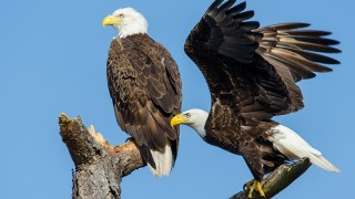 DSC0161-Bald-Eagles