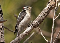 Downy-Woodpecker-Elden-4-7-14-8-200PI
