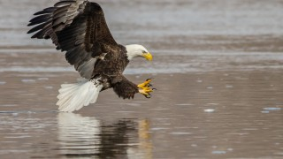 Bald Eagle by Harry Collins