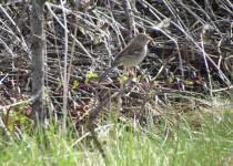 Field-Sparrow.-Quarry
