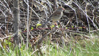Field-Sparrow.-Quarry