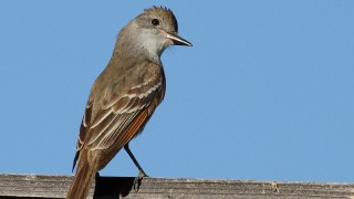 Flycatcher-Ash-throated-2014-05-26-034