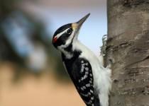 HairyWoodpecker21024