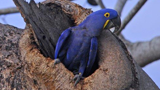 Hyacinth-Macaw-320