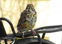Junior-Robin-passenger