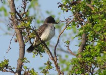 Kingbird-Manlius