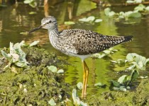 LesserYellowlegs2
