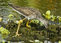 LesserYellowlegs3