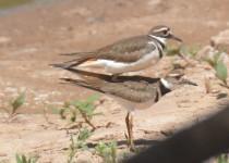Birding @ Trigg Ranch - Killdeer