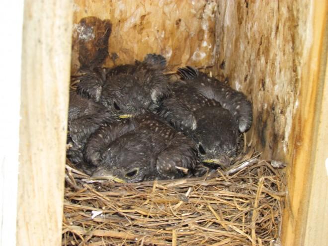 Nestlings-EABL-DHBO
