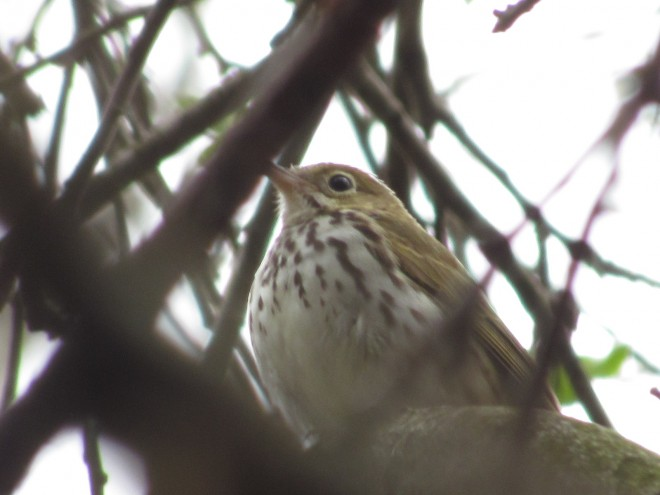 Ovenbird-perching