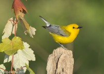 Prothonotary-Warbler-Brickyards-Macon-2