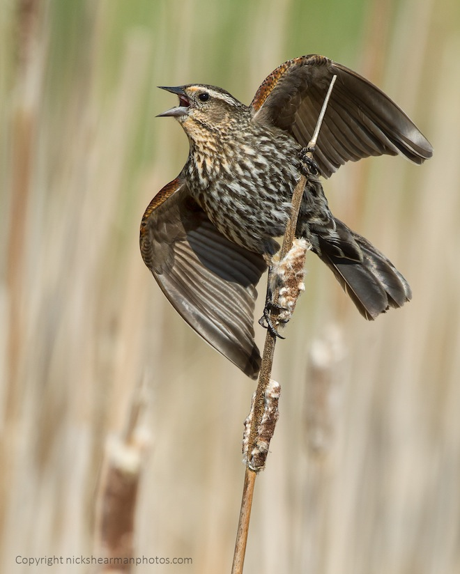 Red-winged Blackbird (female) in Keswick, Ontario, by Nick Shearman.