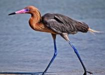 Reddish-Egret-1