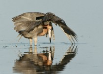 Reddish-Egret_Ft-deSoto63