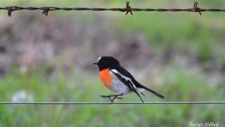 Scarlet-Robin-1-copy