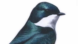 Sibley Tree Swallows_320x180