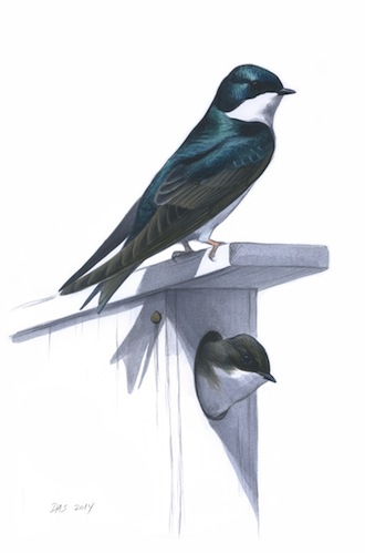 TREE SWALLOWS: Among swallows, only Tree and Violet-green nest in cavities. If you observe a pair investigating a nest box, you have enough information to rule out other species. Art by David Sibley.