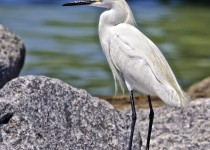 Snowy-egret-on-the-rocks