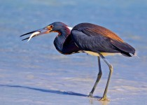 Tricolored-Heron-with-breakfast