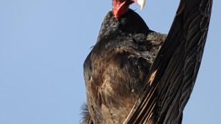 Turkey-Vulture-April-19th-2014