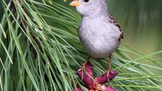 WCSP-pine_0095