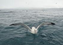 Wandering-Albatross-1024x697
