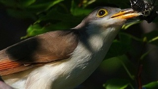 Yellow-billed Cuckoo_320x180