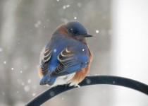 bluebird-127