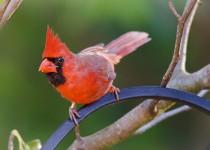 cardinal-on-post
