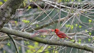 cardinalsB