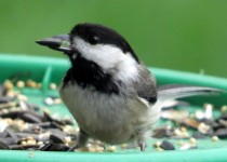 chickadee-feed
