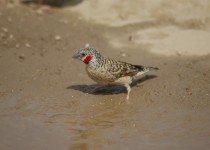 cut-throat-finch