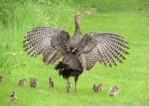 130-Birds-365-Wild-Turkey-and-Chicks-Alarm