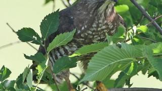 5BW-Hawk
