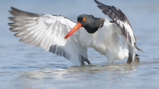 American Oystercatcher at Stone Harbor, New Jersey, by Harris Brown.