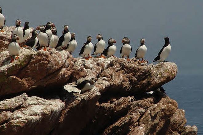 Atlantic Puffins and a Razorbill at Maine Coastal Islands National Wildlife Refuge Complex, U.S. Fish and Wildlife Service.