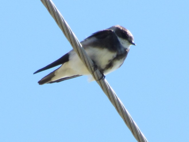 Bank-Swallow