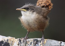 CAWR-fledgling_0429