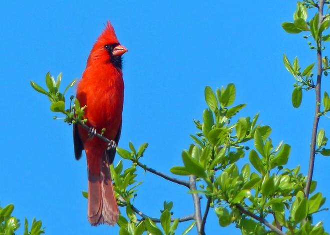 CardinalCM3