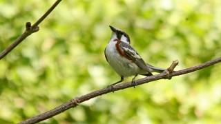 Chestnut-Sided-Warbler-Little-Spring-6-22-14-2-200PI