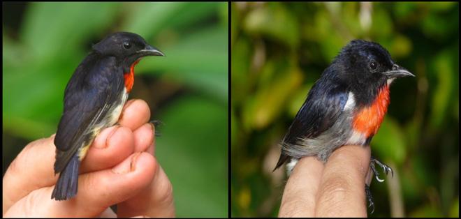Comparison-of-Male-Flowerpeckers