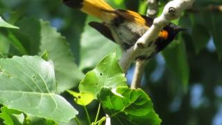 Cottonwood-Redstart