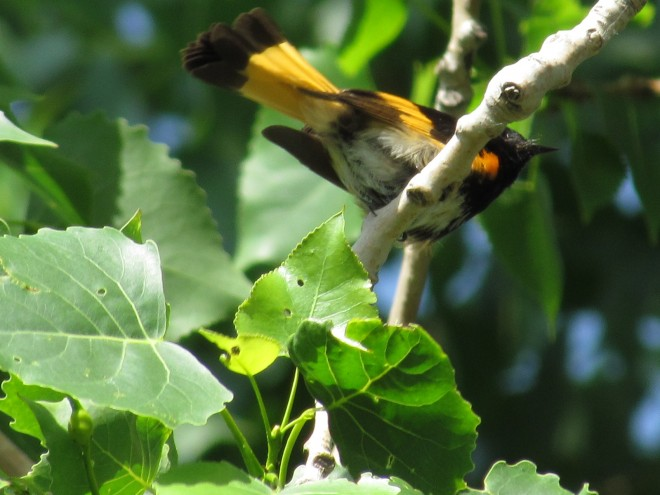 Cottonwood-Redstart