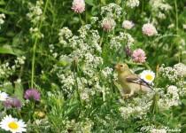 Chardonneret jaune femelle