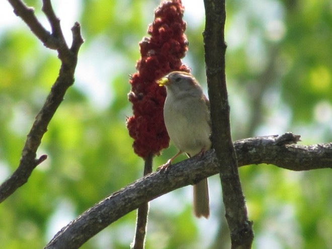 Field-Sparrow-Split-rock