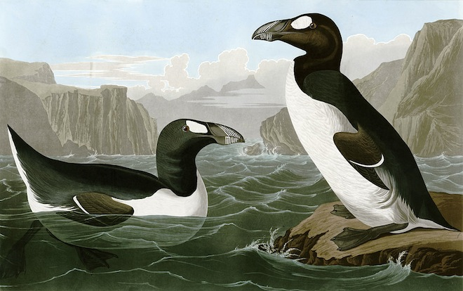 Great Auk by John James Audubon, 1785-1851, Wikimedia Commons.