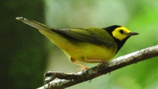 Hooded Warbler in Blue Hole National Park, Belize, Wikimedia Commons.