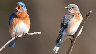 MALE-AND-FEMALE-EASTERN-BLUEBIRD-F-377-184